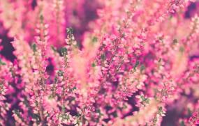 Rośliny wrzosowate